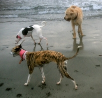 Whippets and labradoodle playing on the beach